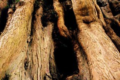642a (Anna Budrys) Tags: ancientyewtree treeworship facesinthebark