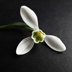 Snowdrop - within (3pebbles) Tags: plant flower floral petal snowdrop galanthus