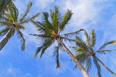 Palm Trees (missnoma) Tags: travel flowers blue sky holiday beach clouds palms hawaii coast oahu shoreline seeds coastline trunks windward kaneohebay kualoaregionalpark
