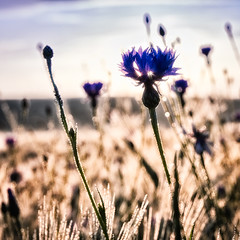 Cornflower & Sun (warmianaturalnie) Tags: flowers summer sun flower nature spring cornflower