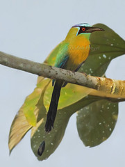 Motmot houtouc / Blue-crowned Motmot (mitch099) Tags: costa bird nature beauty site pacific south rica beaut oiseau osa sud tte bleue motmot bluecrowned pacifique sierpe archologique micheleamyot mitch099 houtouc