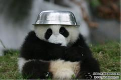 Chengdu Cubbie with Bowl Hat - 03-2013 (Pandaholic) Tags: panda chengdu giantpanda pandas