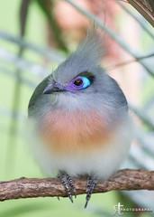 13022376 (noobographer) Tags: blue bird animal pretty beak feather crest perch
