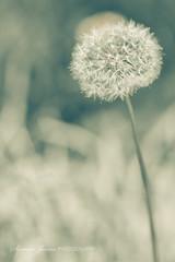 Soft (Serena178) Tags: soft bokeh pastel dandelion odc2