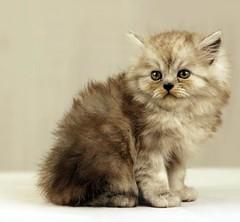 Cat9661 (60) (Cat9661) Tags: animals cat kittens حيوانات مون قطط هاف بسة فيس شيرازي بيكي بساس هملايا