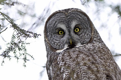 Stare Into My Eyes (MommaD photos) Tags: winter wild sky ontario canada tree nature birds outdoors freedom eyes nikon natural onthego wildlife ottawa watching feathers tranquility spooky intelligence journey silence learning stare northamerica migratory wilderness greatgrayowl predator awe exploration habitat majestic owls avian mobility confidence observing coldtemperature coolattitude coth5 tnwaphotography debbietubridy