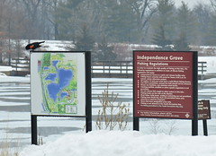 Red-winged black bird - can spring be far away? (psiegle) Tags: redwingedblackbird independencegrove lcfpd lakecountyforestpreservedistrict