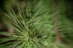 Pine Needles Mess (Mabry Campbell) Tags: usa plant green pine lensbaby 35mm photography march us photo spring texas photographer unitedstates image tx unitedstatesofamerica houston 100mm pineneedles photograph 400 springtime bayoubend harriscounty 2013 sec eos5dmarkiii mabrycampbell march122013 201303120h6a1384