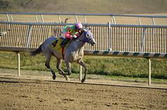 2013-01-19 (4) r4 Yomar Ortiz on #4 Bullette (JLeeFleenor) Tags: horses caballo cheval photography grey photos gray uma cal jockey jinete cavallo cavalo pferd equestrian kin kuda alogo equine hest thoroughbreds soos hevonen cuddy paard cavall kon koin laurelpark  hast jokey fantino hst ceffyl  jquei  ko faras hestur  perd ngi  konj    capall beygir yarraman dokej rennreiter  pfeerd   okej kilparatsastaja jocheu     yomaroortiz