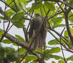 Asian Koel (Eudynamys scolopaceus) (Imthyas Ahmed Shirajee) Tags: bird nature birds canon photography eos university photographer wildlife ngc photographers delta east 7d ahmed ctg bangladesh bangla wildlifephotographer birdwatcher chittagong 70300 ngg asiankoel imti pakhi canon70300isusm canonef70300mmf456isusm eudynamysscolopaceus birdsofbangladesh canoneos7d chattagram canonbangladesh imthyas shirajee mehidibag imthyasahmedshirajee eastdeltauniversity