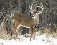 Whitetail Deer Buck (ratedrakanice) Tags: winter nature animal mammal outdoors woods stag wildlife hunting deer antlers buck forests whitetail