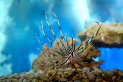 Aquatic   (Parisa Yazdanjoo) Tags: aquatic  fancyfish