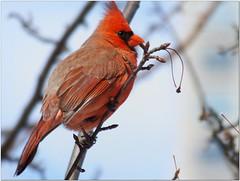 Male Northern Cardinal (Joms_Nature) Tags: bird northerncardinal hs50 hs50exr