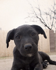 Carolina's Portrait (Immature Animals) Tags: portrait rescue baby black tree cute animal sepia puppy lab labrador sad adorable marshall derek bark carolina pup koalition barktucson
