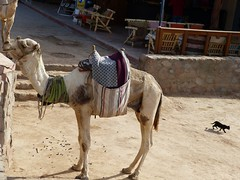 "camellos en Dahab • <a style=""font-size:0.8em;"" href=""http://www.flickr.com/photos/92957341@N07/8590594281/"" target=""_blank"">View on Flickr</a>"