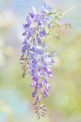Wisteria (Chason Photos) Tags: pictures lighting pink flowers blue light plants usa plant flower green texture nature floral leaves yellow gardens america photoshop garden outside outdoors photography photo leaf petals interestingness spring nikon flickr branch photographer purple natural florida photos outdoor background branches picture floating blues petal textures photographs photograph american greens bloom blooms yellows float delicate wisteria pinks textured springtime lavendar chason 2013 perfectpetals d7000 awesomeblossoms nikond7000 chasonphotos persephonesgarden