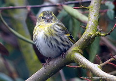 P1000041 (Pitzy's Pyx, keep snapping away!.) Tags: siskins