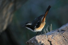 White-throated Robin-chat (Baractus) Tags: south africa john oates ants hill whitethroated robinchat