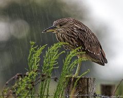 Caught in the Rain (Frank Shufelt) Tags: usa birds nocturnal florida wildlife aves northamerica juvenile wma herons egrets ardeidae blackcrownednightheron nycticoraxnycticorax wildlifemanagementarea 2832 hendrycounty dinnerislandranch july2016