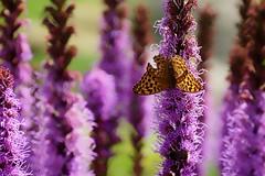 *** (pszcz9) Tags: polska poland przyroda nature kwiat flower butterfly motyl zblienie closeup ogrdbotaniczny botanicgarden bokeh sony a77 beautifulearth