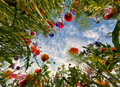 An upside down world (Through Bri`s Lens) Tags: sussex poppies cornflower sky green red white blue brianspicer canon1635f4
