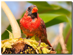 Northern Cardinal (Male) (Betty Vlasiu) Tags: northern cardinal male cardinalis bird nature wildlife