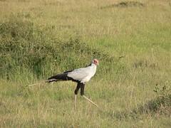 African Bird ! (Mara 1) Tags: africa kenya legs bird outdoors black white feathers
