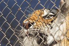 083_Great Cats Park_Bengal Tiger (steveAK) Tags: greatcatsworldpark tiger bengaltiger