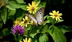 White Peacock Butterfly-Anartia jatrophae - Butterfly House - Peck Farm  - Geneva Illinois (Meridith112) Tags: butterfly butterflies butterflyhouse geneva genevaparkdistrict il illinois kanecounty midwest whitepeacock flower flowers nikon nikond610 nikon105 summer august 2016 anartiajatrophae