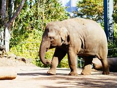Elephant (VirtualWolf) Tags: animal australia bokeh canonef135mmf2lusm canoneos7d elephant equipment mammal mosman newsouthwales places sydney tarongazoo techniques wildlife