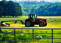 Scotland Inverkip a Massey Ferguson 5465 tractor and a field of sheared sheep 17 August 2016 by Anne MacKay (Anne MacKay images of interest & wonder) Tags: scotland inverkip massey ferguson 5465 tractor field sheared sheep trees farm landscape xs1 17 august 2016 picture by anne mackay