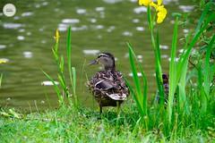 #duck #bird #nature #Green #pentax #bokeh #parc #travelphotography #nature #water (adil_benchekroun) Tags: duck bird nature green pentax bokeh parc