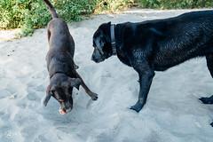chase-roam-early-morning-mamquam-200816-ajbarlas-1244.jpg (A R D O R) Tags: ajbarlas ardorphotography blacklab chase chocolatelab dogs labrador puppy roam