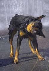 The Shake Off (swong95765) Tags: dog animal fountain water wet shake ion rinse canine
