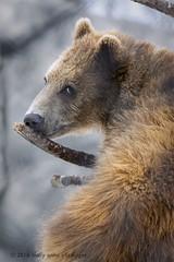 A Bear's Nose Knows (maryanne.pfitz) Tags: kodiakbear grizzlybear brownbear mammal wildlife zooanimal rescued cub treeclimbing marshfield wisconsin mapkb6221 maryannepfitzinger
