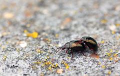 Leaf Beetle (Chrysolina banksi) (RiverCrouchWalker) Tags: chrysolinabanksi chrysomelidae beetle leafbeetle thamespath erith londonboroughofbexley september autumn 2016 happyhumpingday flooddefence insect invertebrate wall lichens