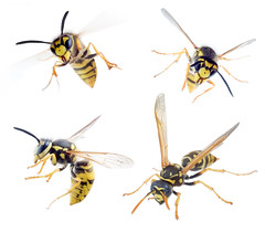Pests Flying Insects (British_Pest_Control_Association) Tags: wasps insect animal flies flying sting striped fauna nature wing bee isolated jacket macro wild summer whitebackground ukraine