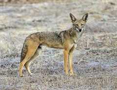 Coyote In Laguna Hills (DeeDee Gollwitzer) Tags: coyote laguna hills deedee gollwitzer