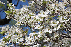 IMG_6537.jpg (She Curmudgeon) Tags: 2016 arboretum arnoldarboretum dogwood lilac lilacsunday