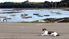 Cat on the quay (patrick_milan) Tags: cat chat colors landscape sea mer iroise water plouguin saint pabu brittany bretagne saintpabu ploudalmezeau porsall finistre quay boat bateau ship