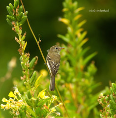 Moucherolle tchbec - Least Flycatcher (Nick288) Tags: moucherolletchbecleastflycatcher
