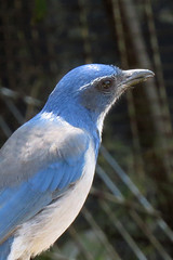 Scrub Jay on backyard fence zoom 160906-132018 C4VB (Wambeke & Wambeke Photography, Art, & Textiles) Tags: scrubjay bluejay bird closeupofabird backyardbird charliewambekephotography canonsx50photograph wambekeandwambekephoto wambekewambekephotographyarttextiles
