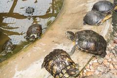 Sarawak turtles (quinet) Tags: 2015 borneo kuching malaysia muziumnegerisarawak sarawak sarawakstatemuseum schildkrte tortue turtle
