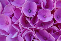 Flowers Hortensia (JaapCom) Tags: jaapcom fleurs flowers flower hortensia bloemen bloem macro natuur garden netherlands
