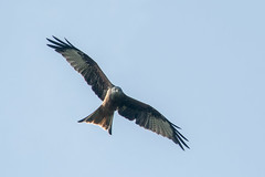 Red Kite (martineberlezrh) Tags: wetzikon zrich switzerland ch red kite bird raptor