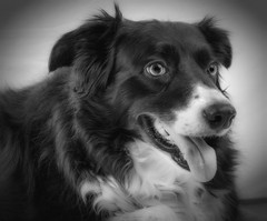 IMG_3650 bw1 (jjays7155) Tags: eos7d sigma1750mm bordercollie bw