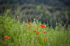 Reunin (SantiMB.Photos) Tags: 2blogger 2tumblr 2ig osona lluans amapolas poppies flores flowers primavera spring alpens sal18250 geo:lat=4211861062 geo:lon=210011870 geotagged cataluna espaa esp