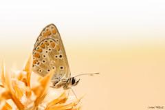 tout en douceur (christophe.perraud.44310) Tags: papillons azur saintphilbertdegrandlieu loireatlantique france douceur butterfly