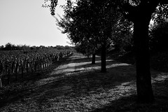 Vignoble Rosheim (boomer_phil) Tags: vignes nikon d500 ombres paysages campagnes bw