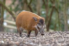 Red River Hog (Linda Martin Photography) Tags: potamochoerusporcus johnaspinallfoundation animals wildlife kent uk redriverhog howletts wild animal park coth ngc npc